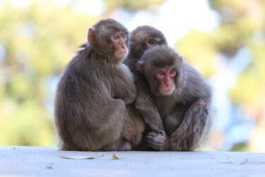 高崎山のメス猿が群れのトップに!70年の歴史で初らしい