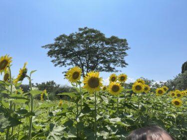 【大神ファーム】3万本のひまわりがある夏にぴったりな場所